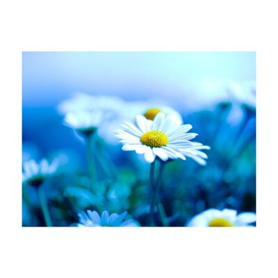 Fototapet - Daisy På En Blå Äng - 300x231 Cm